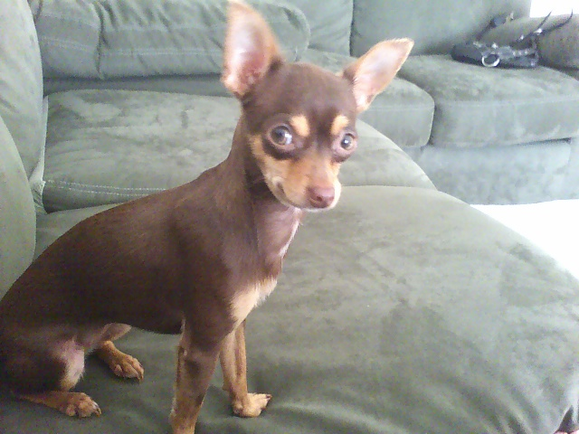 Gallery Deer Chihuahua Mix
